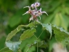 Epimedium unknown probably hybrid