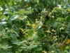 Epimedium wushanense 'Caramel'
