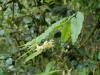 Epimedium wushanense 'Chen Yi'