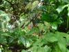 Epimedium x omeiense 'Emei Shan' ('Akane')