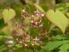 Epimedium x rubrum 'Sweetheart'