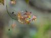Epimedium x versicolor 'Discolor'