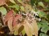 Epimedium possibly stellulatum