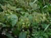 Epimedium franchettii - probably