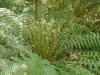 Dicksonia exposion