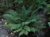 Polystichum setiferum \'Bevis\'