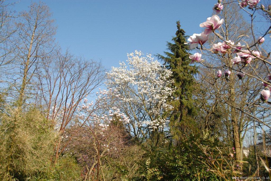 Magnolia salicifolia and Picea omorika