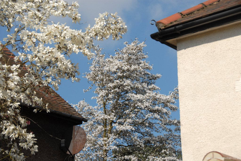 Magnolias in the front garden