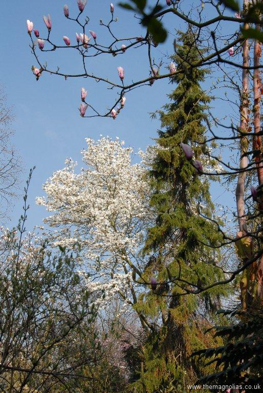 Picea omorika and Magnolia salicifolia