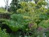 Cornus florida \'Rainbow\' and Gunnera manicata in a large pot