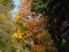 Maple Autumn Colour