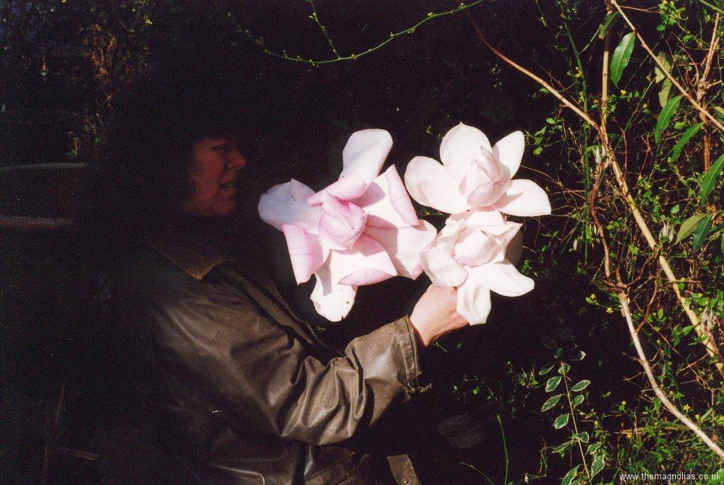 Three Magnolia Flowers.