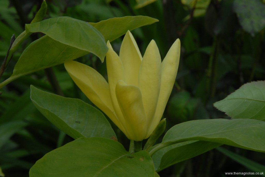 Magnolia 'Daphne'