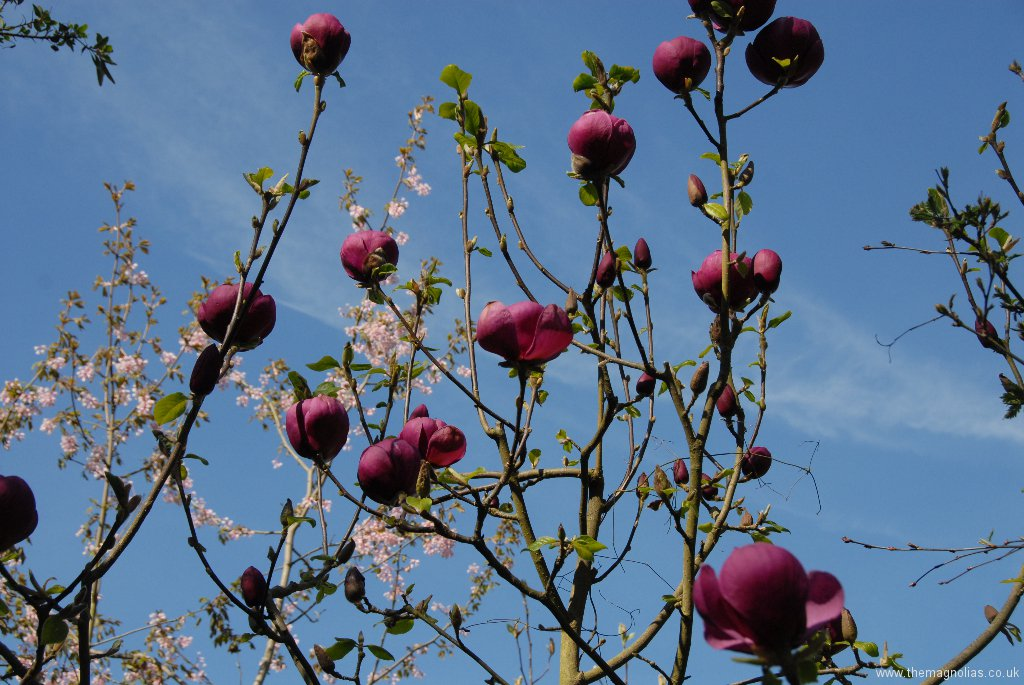 Magnolia \'Black Tulip\'