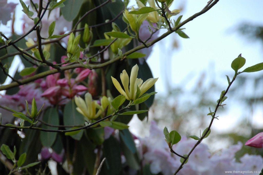 Magnolia \'Butterflies\'