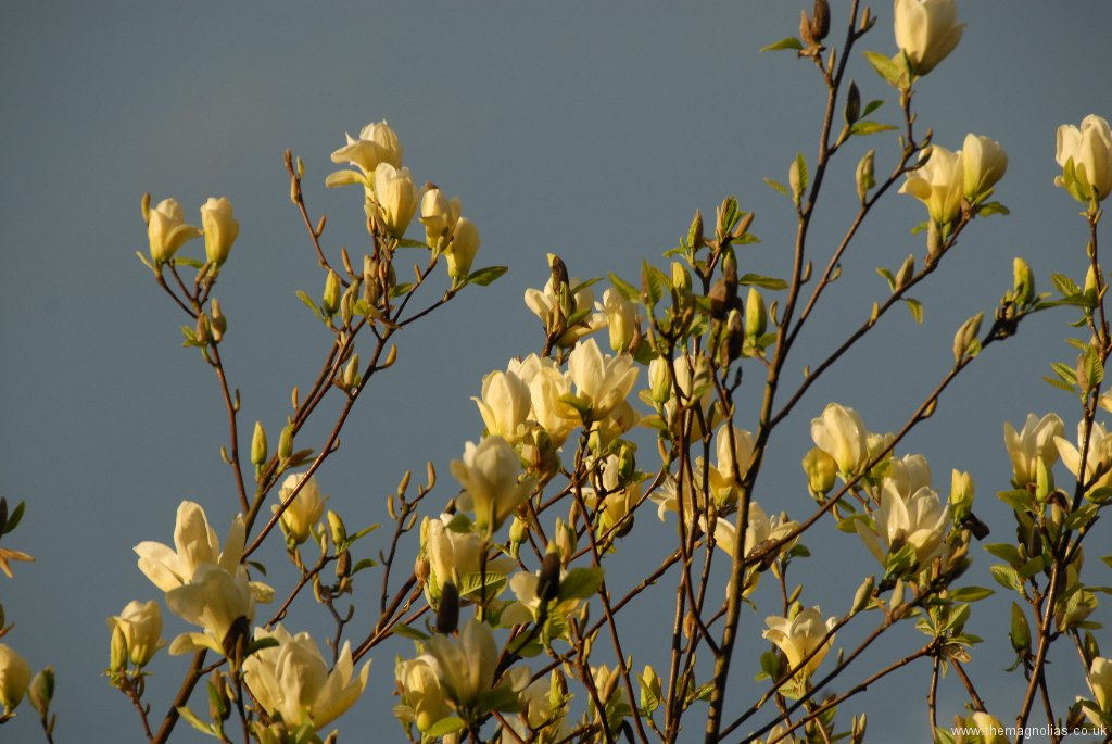 Magnolia \'Elizabeth\' with low sun against a dark sky