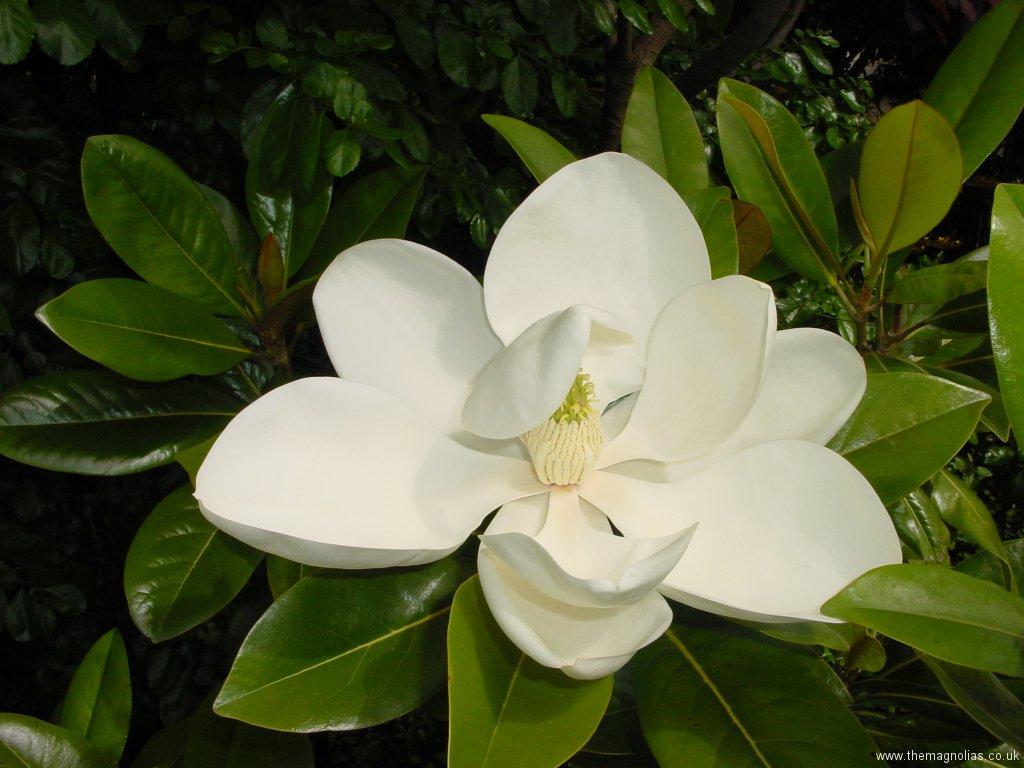 Magnolia grandiflora 'Exmouth'