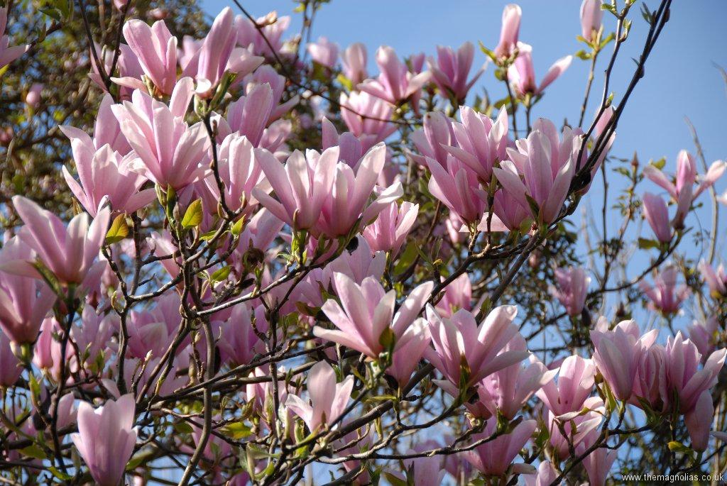 Magnolia \'Heaven Scent\'