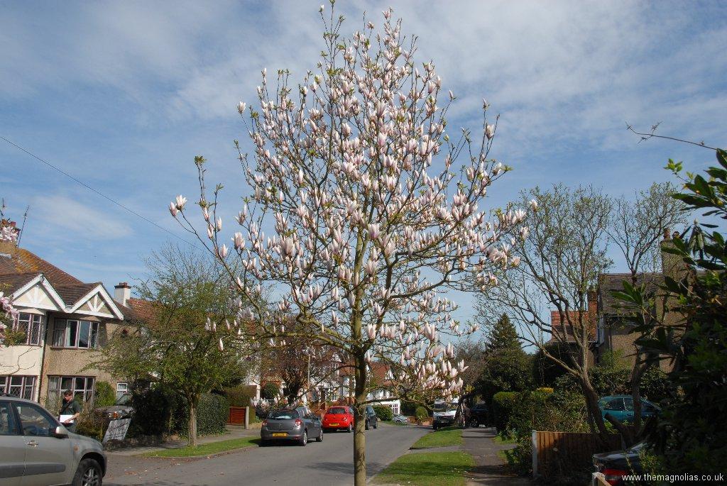 Magnolia \'Peppermint Stick\'
