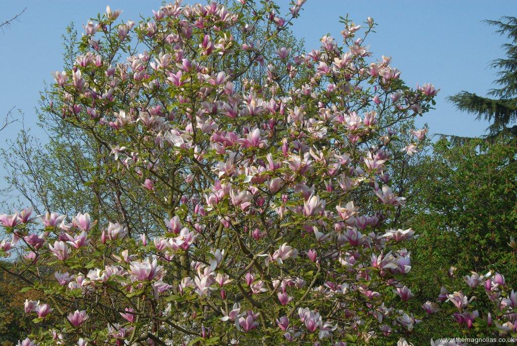 Magnolia \'Royal Crown\'