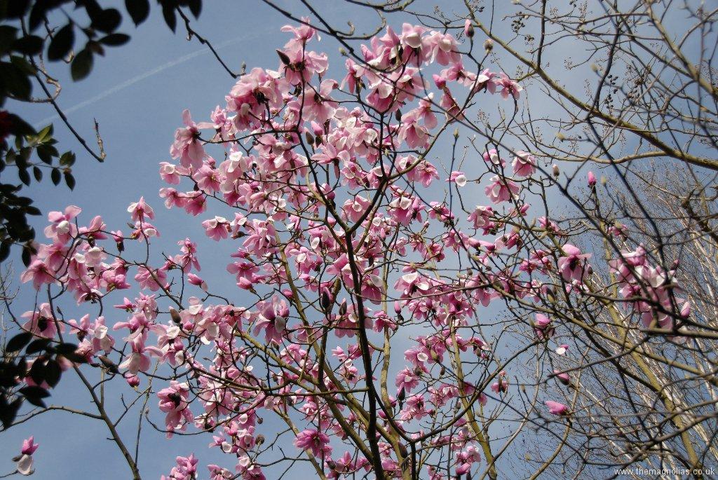 Magnolia sargentiana robusta 'Dark Form'