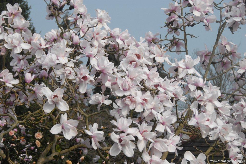 Magnolia sargentiana robusta 'Pale Form'
