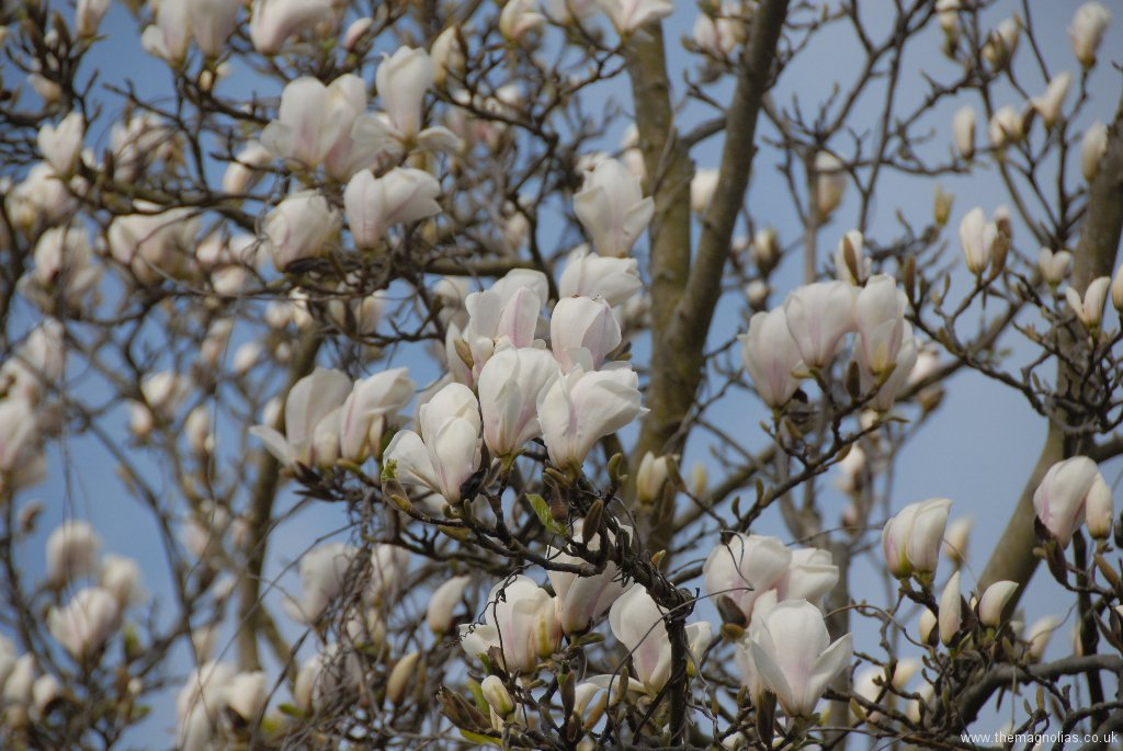 Magnolia x soulangeana 'Brozonii'
