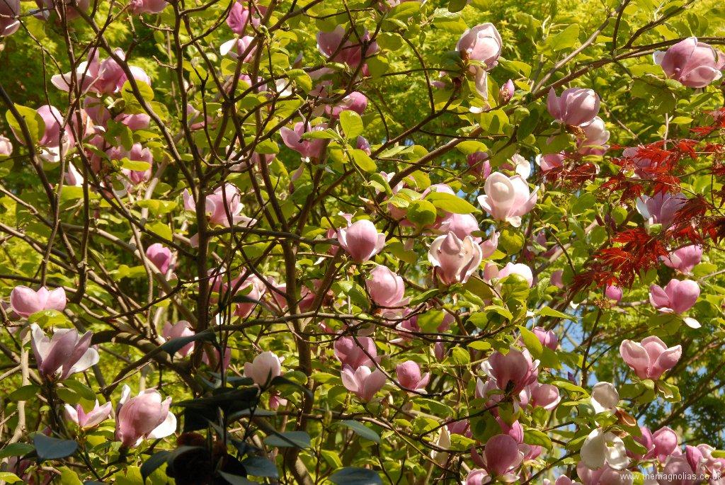 Magnolia x soulangeana 'Lenei'