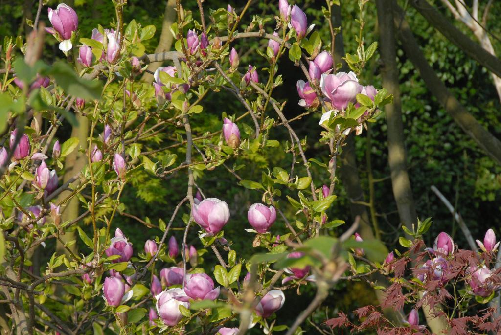 magnolia-x-soulangeana-lenei_1