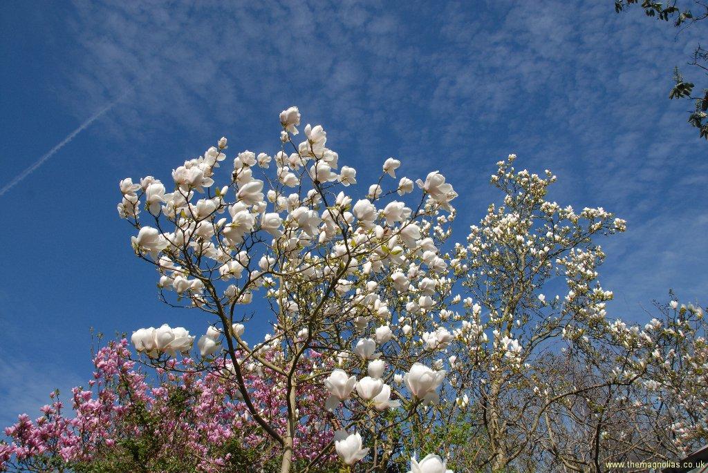 Magnolias View