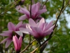 Magnolia \'Apollo\'