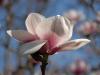 Magnolia \'Athene\'
