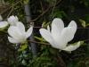 Magnolia cylindrica ('Pegasus'?) deceased