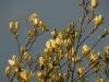 Magnolia \'Elizabeth\' with low sun against a dark sky