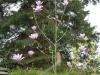 Magnolia \'Galaxy\'