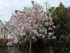 Magnolia \'Iiolanthe\' on grass verge