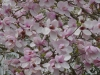 Magnolia 'Iolanthe'