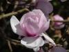 Magnolia \'Iolanthe\'