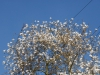 Magnolia kobus borealis
