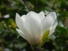 Magnolia \'Manchu Fan\'