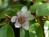 Magnolia (Michellia) 'Fairy Blush'