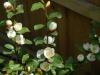 Magnolia (Michellia) 'Gayle's Favourite'