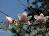 Magnolia \'Milky Way\'
