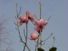 Magnolia mollicomata seedling first ever flowers