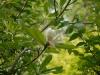 Magnolia oficianalis biloba
