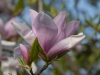 Magnolia \'Pinkie\'
