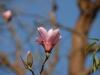 Magnolia \'Raspberry Ice\'
