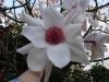 Magnolia sargentiana robusta 'Pale Form' close up