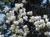 Magnolia \'Sayonara\'
