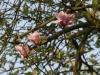 Magnolia \'Serene\'